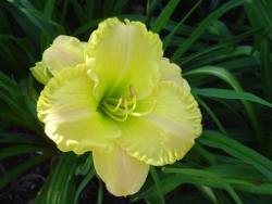 Best Behavior daylily