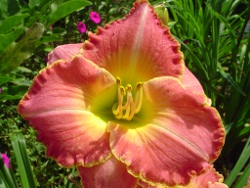 Better Than Ever daylily