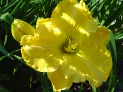 daylilies Big Cheese