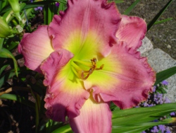 daylilies Chance Encounter