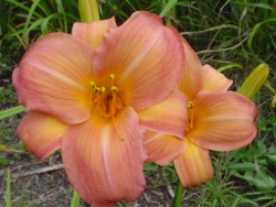 Cookie Monster daylily