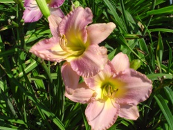daylily Downeast Lady
