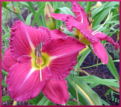 Rose Solitude daylily